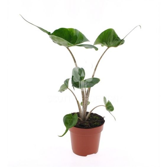 Alocasia macrorrhiza Stingray : Piante verdi da appartamento