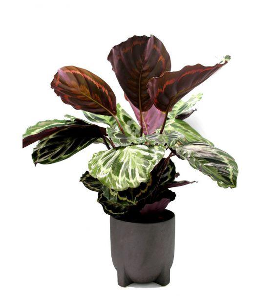Calathea Medallion : piante verdi da appartamento