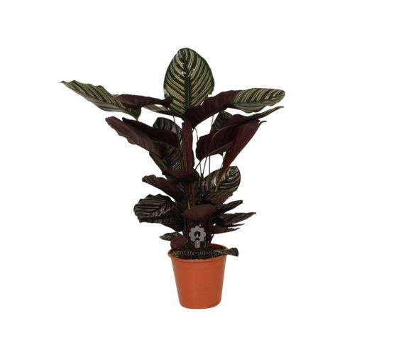 Calathea Sanderiana : Piante verdi da appartamento