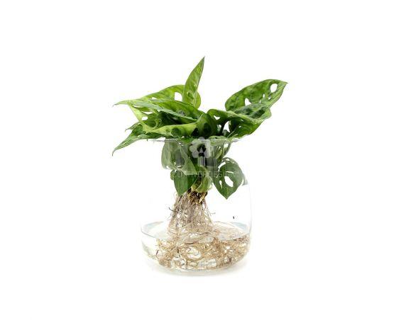 Filodendro Monstera Oblica Monkey Mask idrocoltura : Piante verdi da appartamento