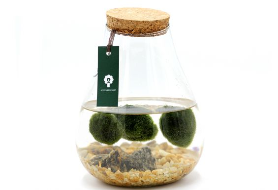 Alga Marimo in Fiaschetta di Vetro