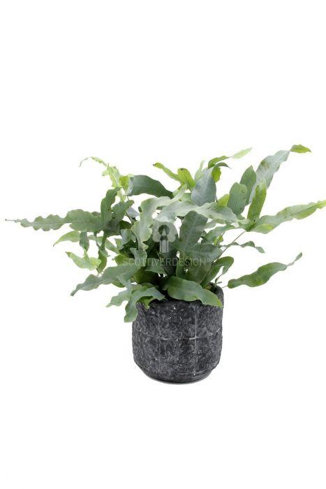 Phlebodium Blue Star : Piante verdi da appartamento