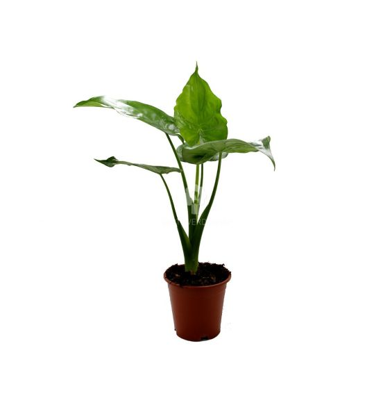 Alocasia Cuculata : Piante verdi da appartamento