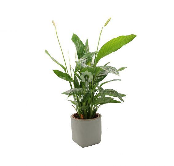 Pianta di Spatifillo : piante fiorite da appartamento