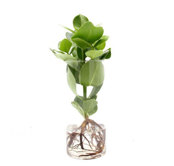 Clusia Princess Idroponica in vaso di vetro