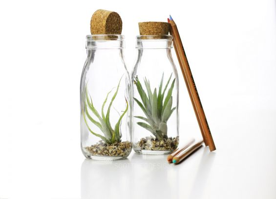 Tillandsia Bottle: Piante grasse in vetro