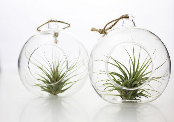 Bomboniere green: Pianta di Tillandsia in sfera di vetro