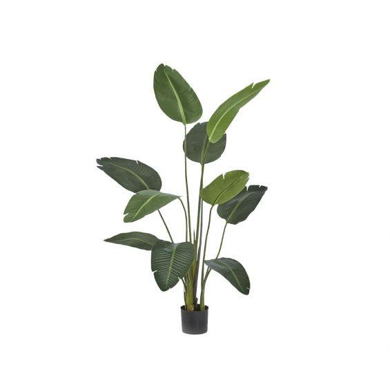Sterlitzia Artificiale H150