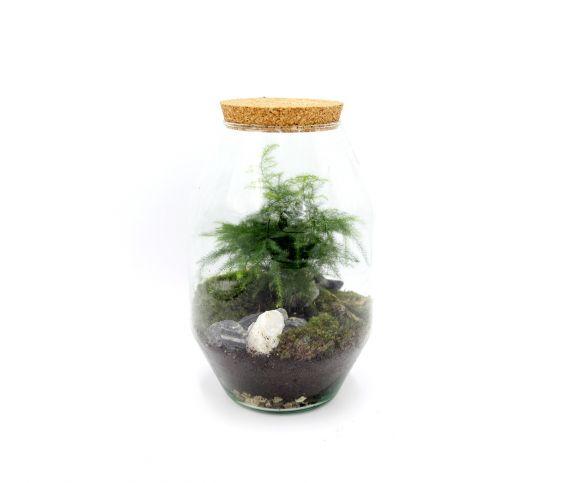 Terrarium Asparagus
