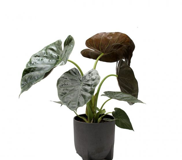 Alocasia Wentii : Piante verdi da appartamento