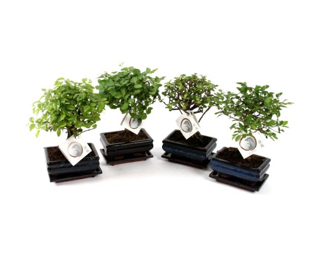 Bomboniere green: Bonsai varietà assortite in vaso