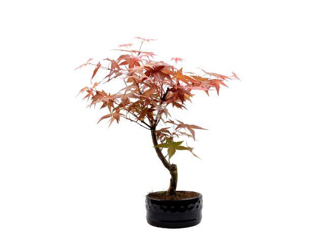 Bomboniere green: Acero Rosso Bonsai in vaso