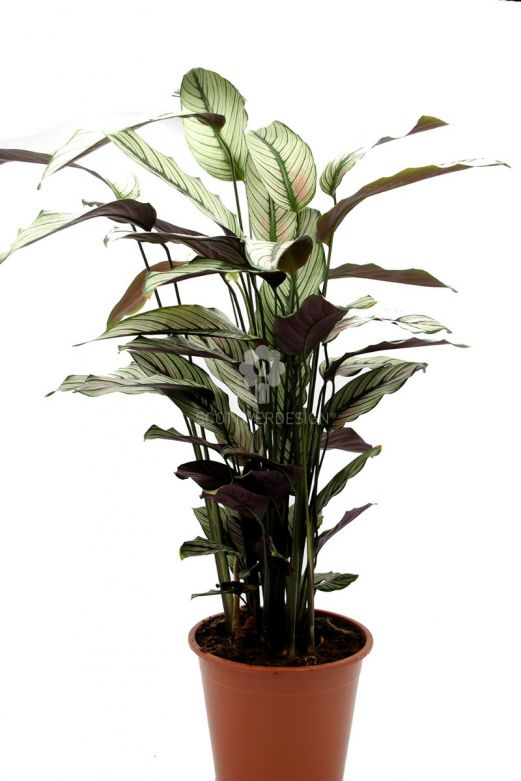 Calathea Majestica Whitestar : Piante verdi da appartamento