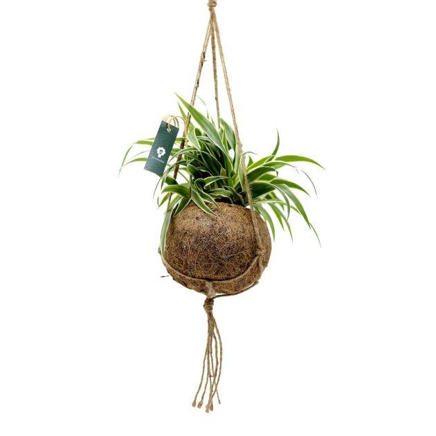 Clorofito in fibra di cocco da appendere