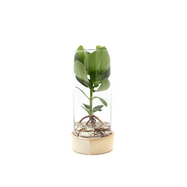 Clusia Idroponica in vaso su base di legno a LED