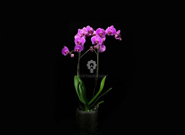 Orchidea Phalaenopsis Fuchsia