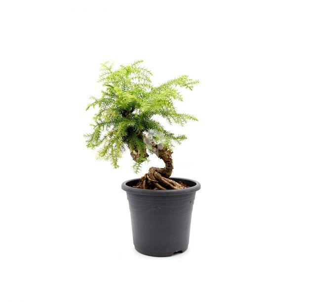 Bonsai pianta di Araucaria