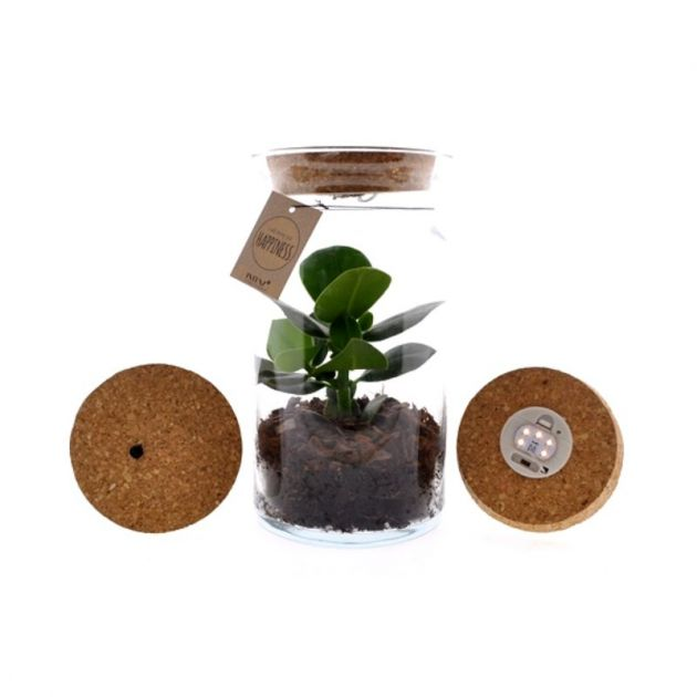 Pianta di Clusia in Terrarium con luce led