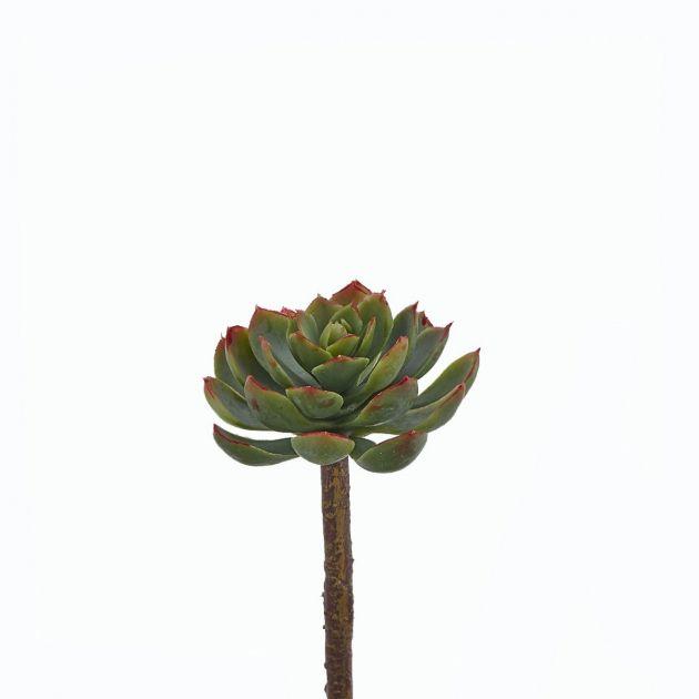 Echeveria Alata Pick H15 D8