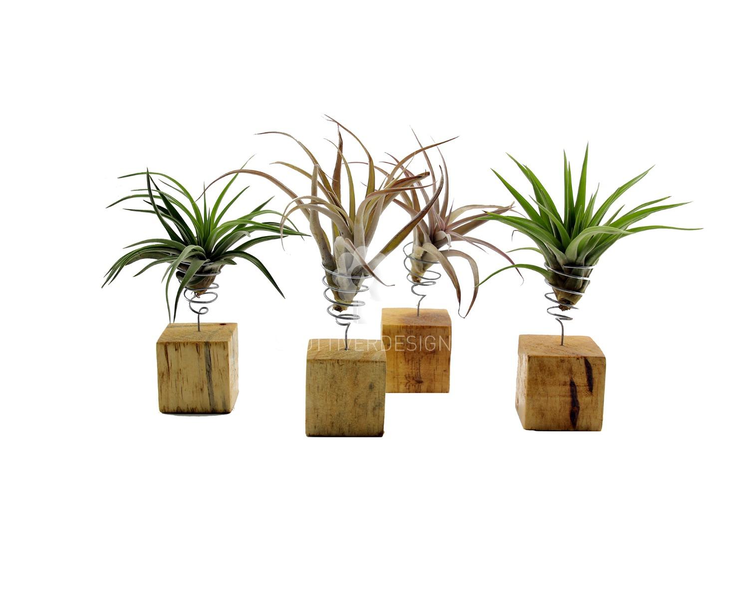 Bomboniere green: Piantine di Tillandsia su cubo di legno